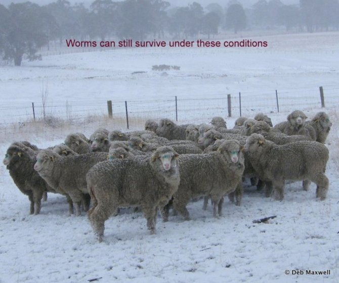 Many worm larvae will survive these conditions as they are protected by the pasture or topsoil. Source: Deb Maxwell.