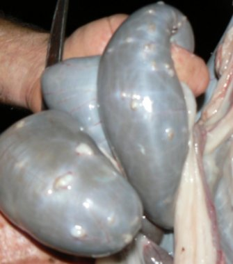 Image: Section of intestine showing nodule worms (Source: Maxine Lyndal-Murphy, Qld Dept of Agriculture and Fisheries)