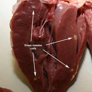 Viable sheep measles cysts in sheep heart. Source: David Jenkins